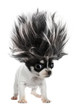 Chihuahua puppy small dog with crazy troll hair - 74055282