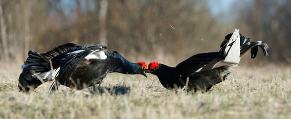 Fighting Black Grouses