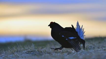 Silhouette of Lekking Black Grouse