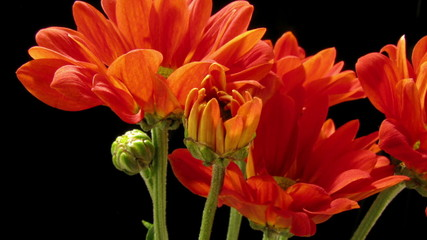 Orange Daisy Time-lapse
