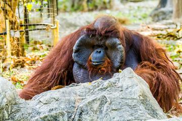 urangutan in chiangmai zoo chiangmai Thailand