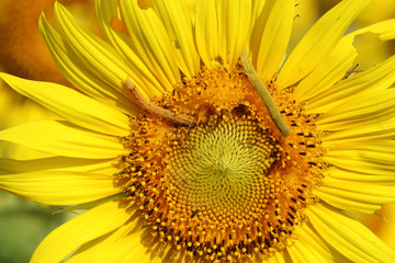 caterpilla on sunflower pollen