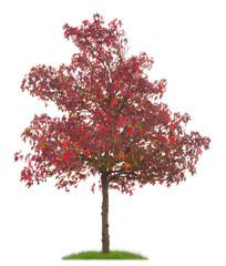Junge Zierplatane mit roten Blättern und Früchten im Herbst
