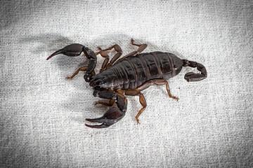 Photo of the dark alive scorpion on fabric