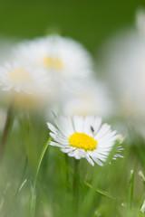 common daisy in grass