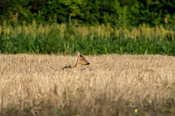 Jeune chevreuil dans un champ