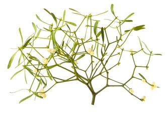 The Common Mistletoe (Viscum album)  on white background.