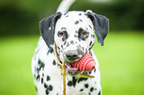 Portrait of dalmatian dog with a toy - 74067476