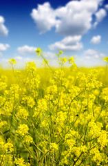 A farm of Canola in flower