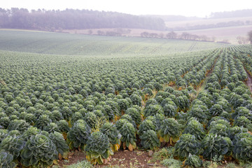 Brussel Sprouts crop growing on an English farm UK