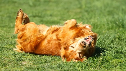Slow motion.Happy English cocker spaniel on the grass