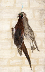 Brace of Pheasant hanging await plucking of feathers process