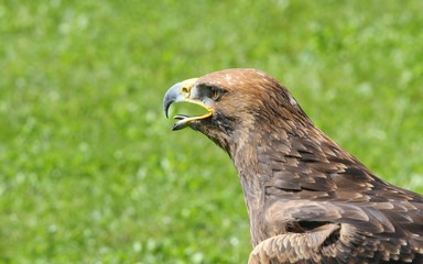 majestic Great Eagle and opens the berk