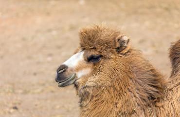 Bactrian camel portrait (Camelus bactrianus)