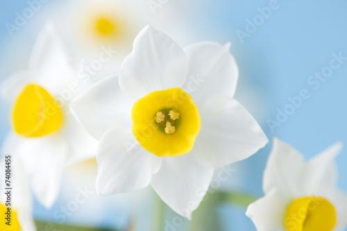 Fototapeten Narzisse スイセンの花