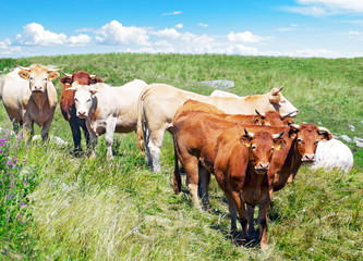 Vaches en prairie