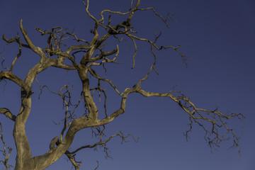 Dead tree blue sky