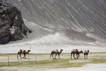 group of camel walk among mountain