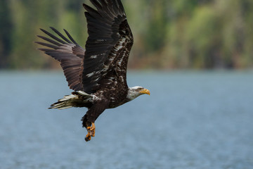 Bald eagle in flight in the rocky mountains