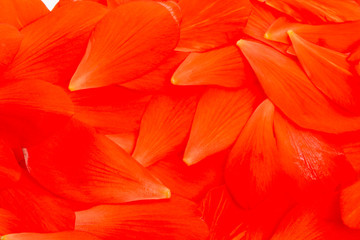 Background of red petals