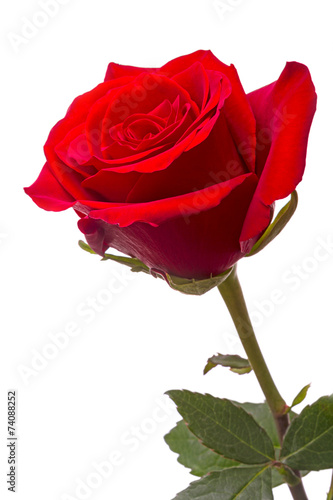 canvas print picture Big red rose
