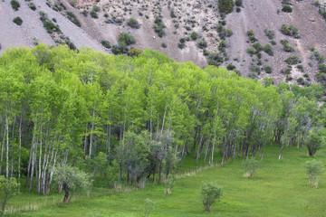Pamir birch on the lake Iskander, Tajikistan