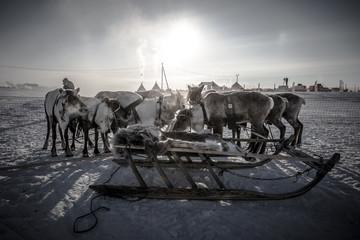 Team of reindeer. Yamal