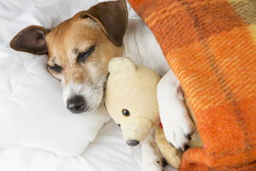 Adorable dog is sleeping in an embrace with a toy