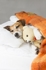 smiling pleased good dog is sleeping in an embrace with a toy