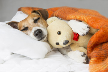 Small dog is sleeping in an embrace with a toy