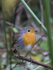 European robin perched on a twig in a bush