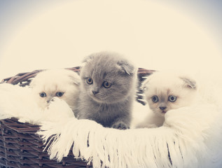 three British lop-eared kitten in straw basket