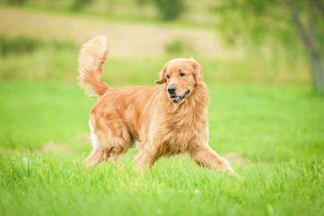 Golden retriever running on the lawn