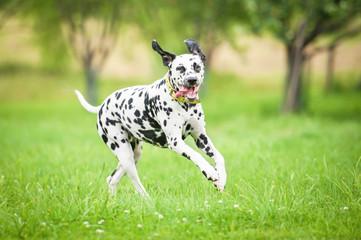Dalmatian dog running