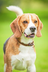 Portrait of beagle dog in summer
