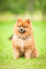 Miniature spitz sitting on the lawn