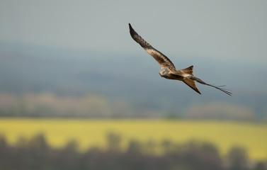 Red kite (Milvus milvus) in flight