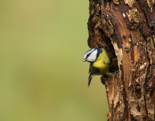 Blue tit Cyanistes caeruleus on the tree trunk