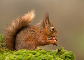Red squirrel Sciurus vulgaris on a mossy post