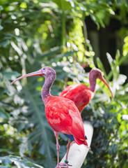 Red grunt, eudocimus ruber