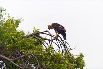 Crested Falcon