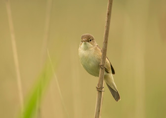 Reed warbler on a reed