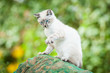 Beautiful siamese cat with blue eyes sitting outdoors