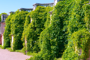 Overgrown wall in in Peterhof, Saint Petersburg, Russia