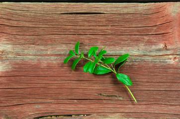 Lingonberry twig