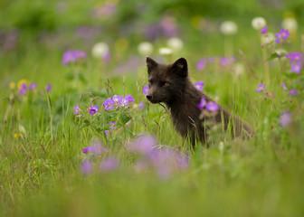 Adult Arctic fox Vulpes lagopus in the meadow