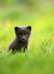 Arctic fox Vulpes lagopus cub in the meadow