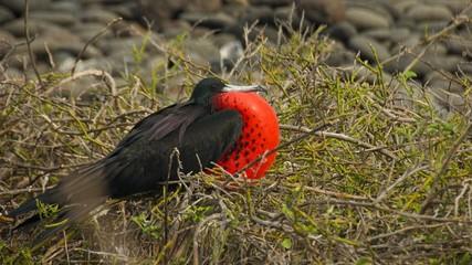 Figatebird in Galapagos Islands