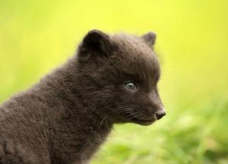 Close up of Arctic fox Vulpes lagopus cub