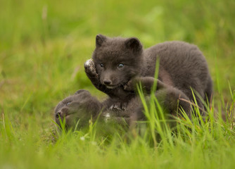 Arctic fox Vulpes lagopus cubs play fighting